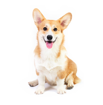 corgi with tongue sticking out