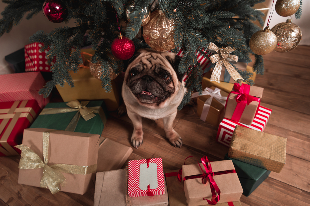 pug with christmas presents