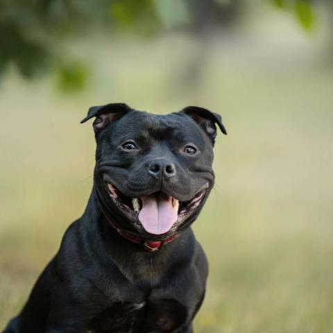 cute staffie